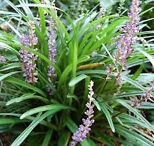 24 x Liriope Muscari Evergreen border grass purple flowers plants in 40mm pots