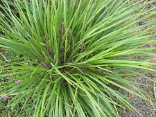 Dianella brevicaulis Short Stem Flax Lily 20 seeds