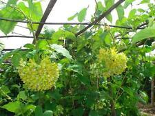 50 seeds,ดอกขจร,Sweet Cowslip Creeper,Telosma minor Craib,ดอกสลิด Easy to grow
