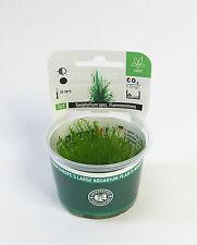 Flame Moss Taxiphyllum spec. Flamemoss - Dennerle Plant It InVitro Shrimp Safe