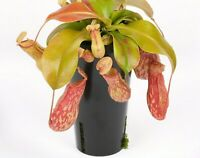 "Nepenthes ""St. Gaya"" Pitcher Plant LIVE Carnivorous Tropical Exotic Fly Trap"