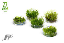Aquarium Moss - Live Aquarium Plants - Many Species - In Vitro - Very Easy