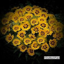 Rare Coreopsis Sunflower Coreopsis grandiflora 'Sunfire' short supply 25 seeds