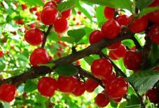 Prunus tomentosa 10+ fresh seeds. Sweet bushberry