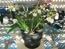 Orchid Fragrant Cattleya Brassavola nodosa Little Star Exotic Tropical