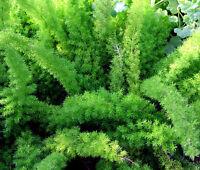 ASPARAGUS FOXTAIL FERN Asparagus Densiflorus Meyeri - 60 Bulk Seeds