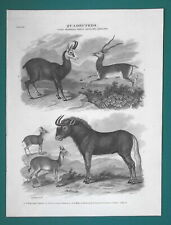 Quadrupeds Mammals Royal Gnou Antelope Chamois - 1820 A. Rees Antique Print