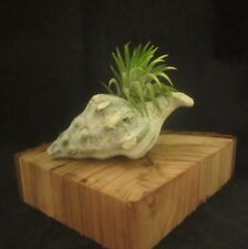 Tillandsia Ionantha from Mexico with Sea Shell and Ca Redwood
