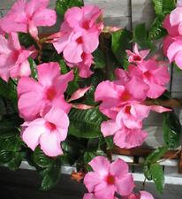 Alice du pont Mandevilla x amabilis climbing pink flowers plant in 140mm pot