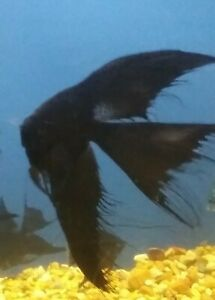 Beautiful Black SUPER VEIL Angels Nickel Size Body Long Fins Group of 2