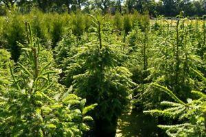 1st. Rotfichte  40-70cm Weihnachtsbaum Picea abies Rotfichten Wurzelware