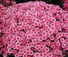 "Hardy Mum - Mums - Cheryl Pink - Chrysanthemum - 2 Plants - 3"" Pots"
