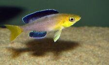 Cyprichromis leptosoma «Mpimbwe» (Lake Tanganyika Cichlid)