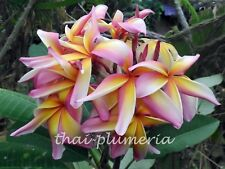 "PLUMERIA ""RAINBOW STAR BURST"" Fragrant Flower Frangipani plant"