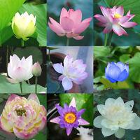 Lotus Lotos Nelumbo nucifera Lotusblume 10 Samen P3E0