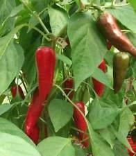 25+ Fresh 2017 Harvested Heirloom Piment d'Espelette Pepper Seeds-R 107