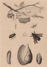 Volute. Vrillette (Beetle). Vulselle. Xylocopa (Carpenter Bee). Yponomeuta 1834