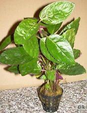 1 Topf Hemigraphis species, farbenprächte Sumpfpflanze
