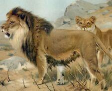 African lion...Antique lithograph...1898