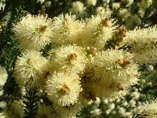 Melaleuca pustulata -  Sweet Scented Paperbark 15 seeds