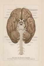 Gehirn des Menschen Kleinhirn Großhirn Rückenmark LITHOGRAPHIE von 1886