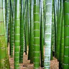 25 TORTOISE SHELL BAMBOO SEEDS  ( Ebible bamboo ) - Phyllostachys edulis