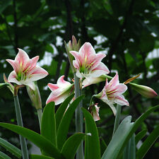 Beautiful 2 Bulbs Plants Elvas Double Amaryllis HIPPEASTRUM Elvas Amarylli G5X6