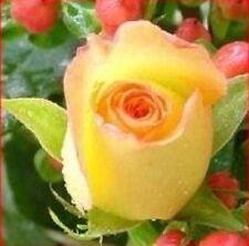 50 Semillas de Rosa Amarilla (Yellow Rose Seeds)