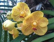 Orchid - Vanda Ratchaburi Sirathana ….. Stock #296