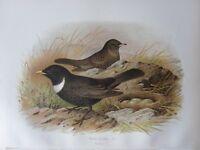 1907 Antico Uccello Stampa ~ Anello Ouzel