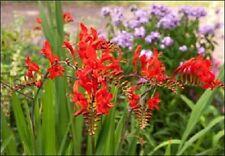 25+ Crocosmia Flower Seeds, Flame Orange  / Perennial