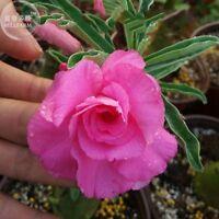 Desert Rose Pink Red Petals Mixed Home Garden Balcony Potted Bonsai Seeds 2PCS