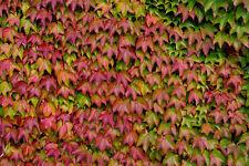 Boston Ivy-PARTHENOCISSUS Tricuspidata - 25 semi-arbusto rampicante-ornamentale