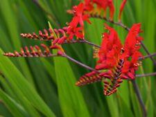 CROCOSMIA MONBRETIA LUCIFER 25 Graines 25 Seeds