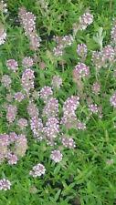 min 100 Samen Sandquendel Feldthymian -Thymus serpyllum