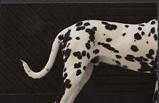 Animals Postcard - Modern Photo Postcard - Dogs - Dalmatian   A8443