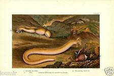 1890= ANIMALI MARINI = by GLAUCUS = Antica Stampa CROMOLITOGRAFIA