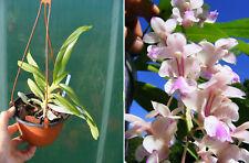 Aerides falcata, orchidée, Orchid,