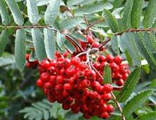 SERBAL DE CAZADOR Sorbus Aucuparia 250 Semillas seeds