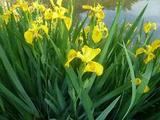 4 x Yellow Flag Iris- pseudacorus- Pond- Lake plants- Organically grown in UK-