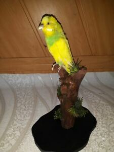 Taxidermy Budgerigar Yellow Parrot Stuffed  Trophy Collection