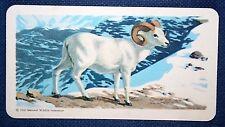 DALL SHEEP   Superb Illustrated Colour Card   VGC