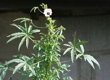 20+ KENAF HIBISCUS CANNABINUS SEEDS INDIAN HEMP FLOWER FALSE LOOKING CANNABIS