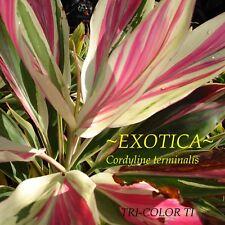 ~EXOTICA TI~ Cordyline terminalis TRI-COLOR TI Hawaiian Good Luck sml Potd PLANT