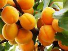 Common apricot  Prunus armeniaca 50 seeds