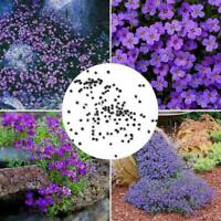 250 teile / beutel Cascade Lila Aubrieta Blumensamen Mehrjährige Bodendecke P0X1