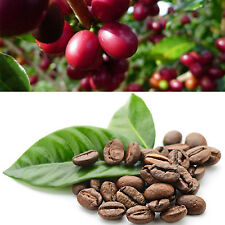 CH 100X Hawaiian Kona Coffee Bean Seeds Awesome Easy to Grow Garden Plant Seeds