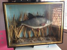 taxidermy fishBream fish in large glass case