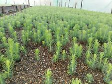 100 Norway Spruce seeds