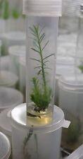 Live Tissue Culture Plant In Vitro Sequoia Redwood TC Tube Microclone Hydroponic